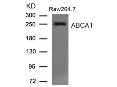 ABCA1 Antibody