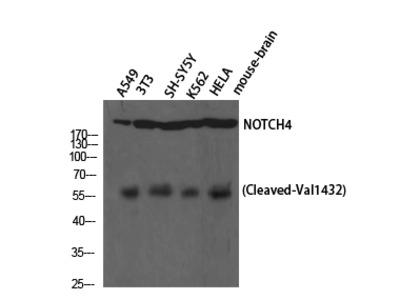 Cleaved-Notch 4 (V1432) Polyclonal Antibody