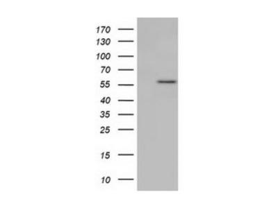 KLHL2 antibody