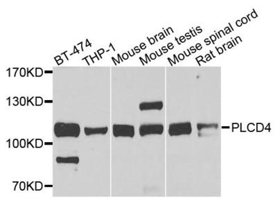 PLCD4 Polyclonal Antibody