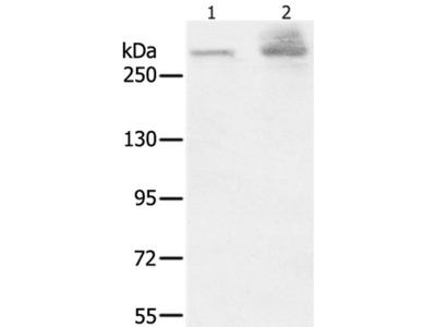 HSPG2 Antibody