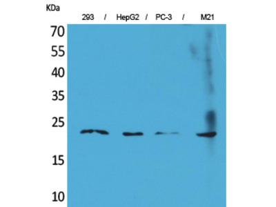 FGF-6 Polyclonal Antibody