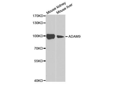 ADAM9 Antibody