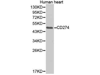 CD274 Antibody