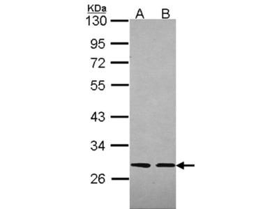 Slap antibody