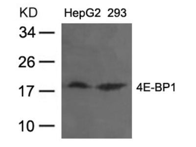 4E-BP1 (Ab-36) Antibody