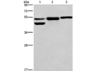 GPER1 Antibody