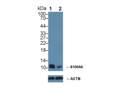 FITC-linked Antibody to S100 Calcium Binding Protein A6 (S100A6)
