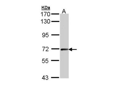 cyclin T2 antibody