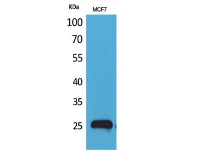 CBP 35 Polyclonal Antibody