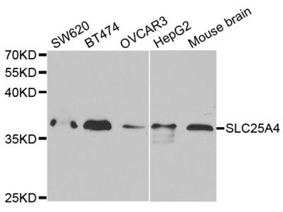 SLC25A4 Antibody