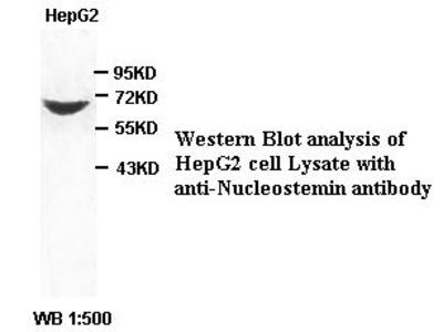 Anti-Nucleostemin Antibody