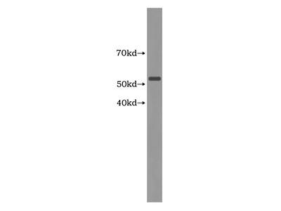 KLC3 Antibody