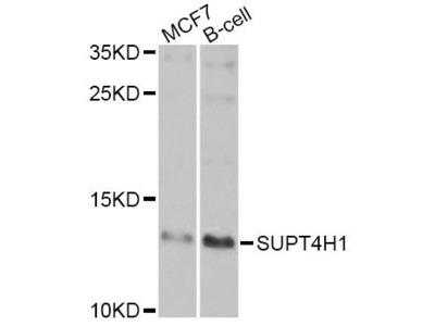 SUPT4H1 Polyclonal Antibody