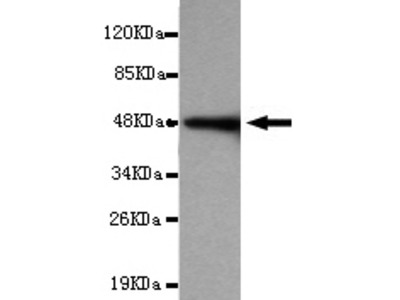 CDH2 Antibody