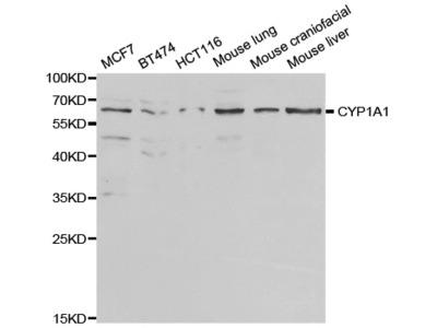 CYP1A1 Antibody