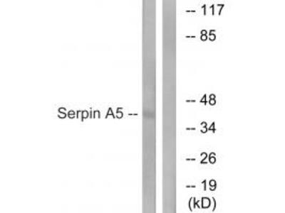 Serpin A5 Antibody