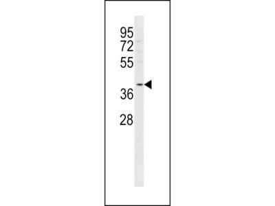 FFAR2 Antibody (C-term)