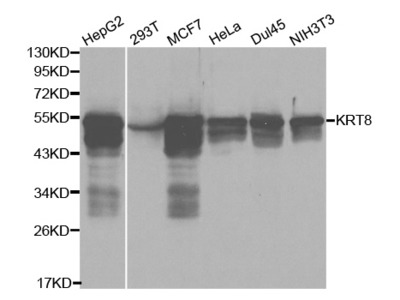 KRT8 Antibody