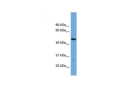 PNMAL1 antibody