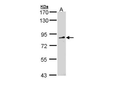FGD4 antibody
