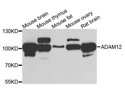 ADAM12 Polyclonal Antibody