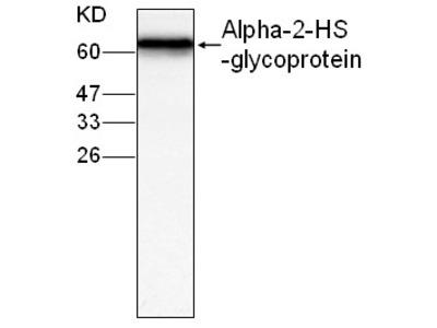 Alpha-2-HS-glycoprotein Antibody