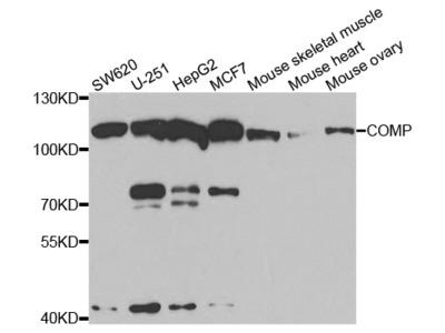 COMP Antibody