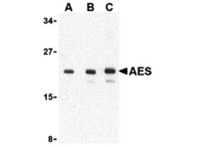 AES Antibody