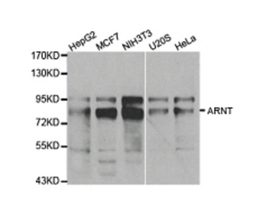 ARNT Antibody