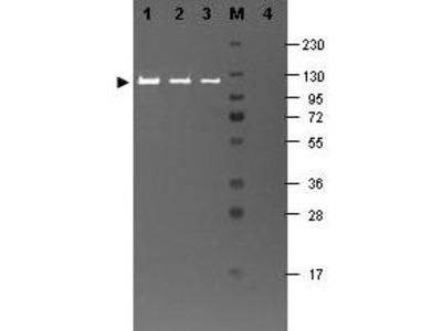 BETA GALACTOSIDASE Antibody