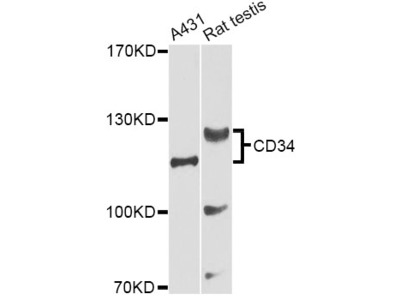 CD34 Polyclonal Antibody