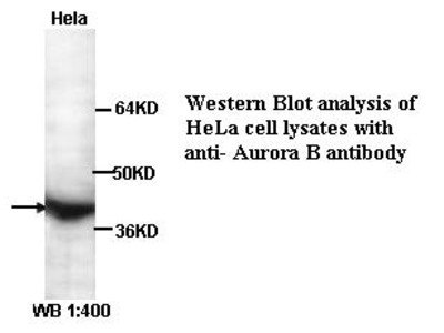 Aurora B Antibody