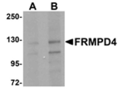 FRMPD4 Antibody