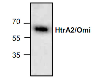 HtrA2 / Omi Antibody