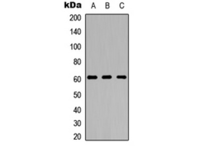 Anti-GPR123 Antibody