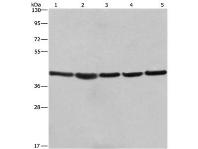 RPSA Antibody