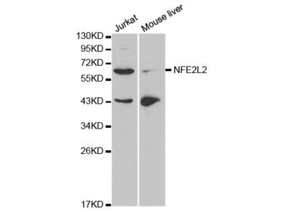 NFE2L2 Antibody
