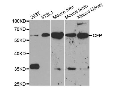 CFP Antibody