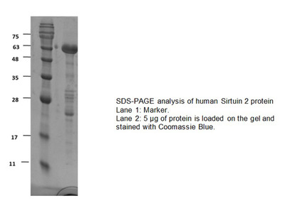 Active SIRT2, human recombinant