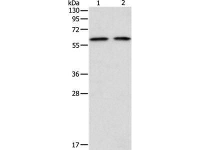 ADAM2 Antibody