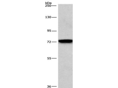 BCAM Antibody