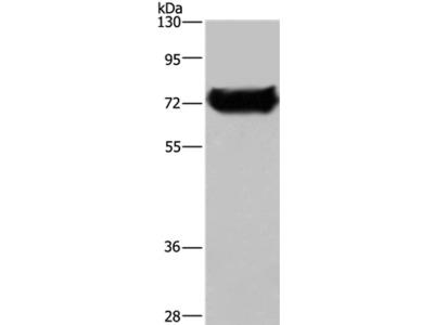 DDX53 Antibody