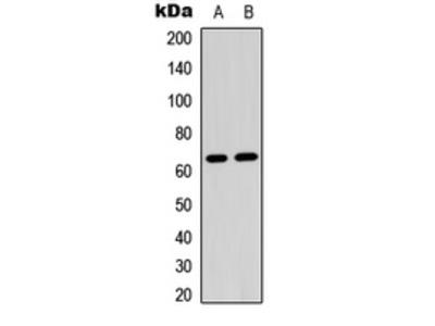 Anti-CRMP2 (pS522) Antibody