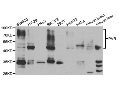 PVR Antibody