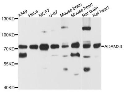 ADAM33 Polyclonal Antibody