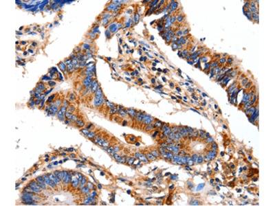 COX8A Antibody