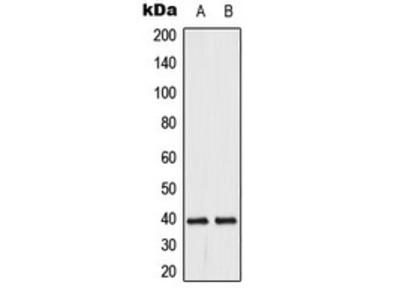 Anti-DUSP1/4 Antibody