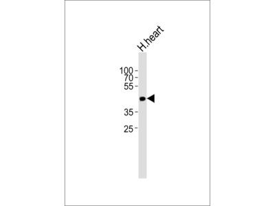 OR13C9 Antibody (N-term)
