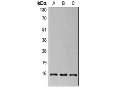 Anti-4EBP1 (pT37) Antibody